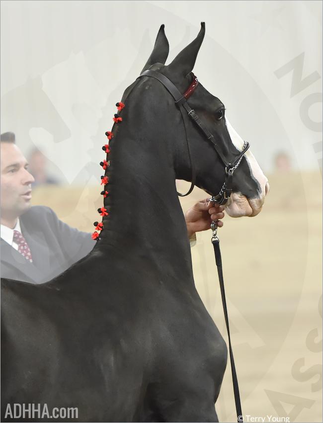 ADHHA foal