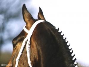 ADHHA news Stallion selection 1