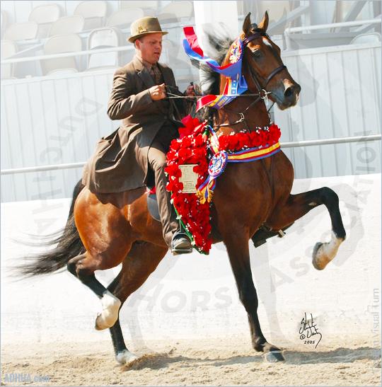 ADHHA Clout (DHH x Saddlebred) under saddle