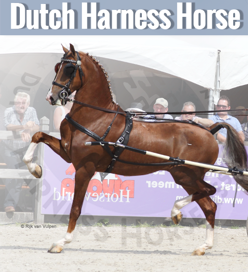 Dutch Harness Horse breed